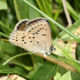 female Greenish Blue - Plebejus saepiolus