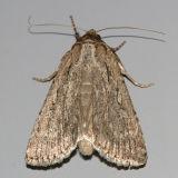 10927 - Spaelotis bicava