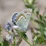 Friday's Blue - Plebejus fridayi