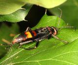 Poecilopompilus algidus