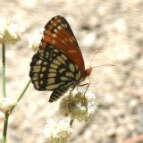 Leanira Checkerspot - Thessalia leanira