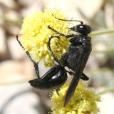 Sphex pennsylvanica -  Great Black Wasp