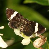 7430 -- White-striped Black Moth -- Trichodezia albovittata