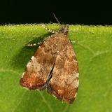 2650 -- Apple Leaf Skeletonizer Moth - Choreutis pariana