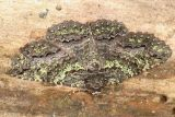 8694 -- Green-dusted Zale Moth -- Zale aeruginosa