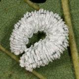 Butternut Woolly Worm - Eriocampa juglandis