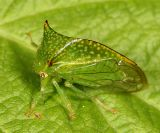 Hadrophallus bubalus