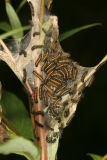 Harris' Checkerspot caterpillars