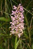 Lesser Purple Fringed Orchid - Platanthera psycodes