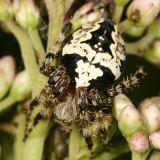 Orb Weaver - Araneus nordmanni