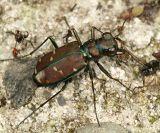 Green-margined Tiger Beetle - Cicindela limbalis