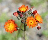Orange Hawkweed - Hieracium aurantiacum