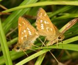 mating Common Branded Skippers - Hesperia comma