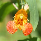 Jewelweed - Impatiens capensis