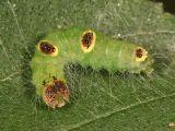 9236 - Ochre Dagger Moth -  Acronicta morula