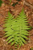 New York Fern - Thelypteris noveboracensis