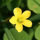 Woodsorrel - Oxalis sp.