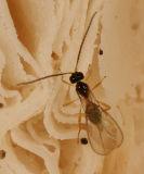 Braconid Wasps - subfamily Alysiinae