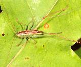 Lesser Pine Katydid - Orchelimum minor  (female)