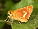 Leonard's Skipper - Hesperia leonardus