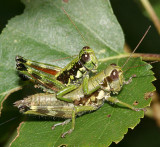 Short-horned Grasshoppers - Acrididae