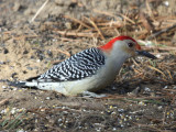 Red-bellied Woodpecker - Melanerpes carolinus