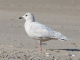 immature Iceland Gull