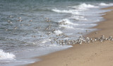 Sanderlings - Calidris alba