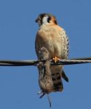 American Kestrel - Falco sparverius