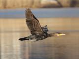 Great Cormorant - Phalacrocorax carbo (immature)