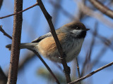 Boreal Chickadee - Poecile hudsonica