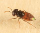 Chalcid Wasps - Aphelinidae