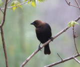 Brown-headed Cowbird - Molothrus ater (male)