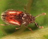 Henotiderus sp.