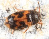 Hairy Fungus Beetles - Mycetophagidae