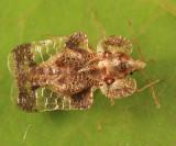 Lace Bugs - Tingidae