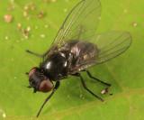 Melanagromyza sp.