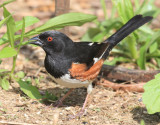 Eastern Towhee - Pipilo erythrophthalmus (male)