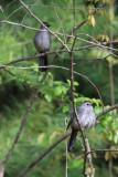 Gray Catbirds - Dumetella carolinensis