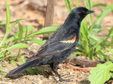 Red-winged Blackbird - Agelaius phoeniceus (immature male)