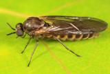 Axymyiidae - Axymyia furcata