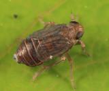 Delphacid Planthoppers - Delphacidae