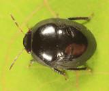 Galgupha nitiduloides