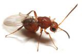 Gall Wasps - Cynipidae