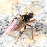 Crossopalpus sp.