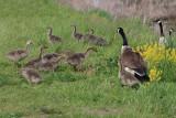 Canada Goose family - Branta canadensis