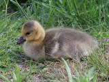 Canada Goose young gosling - Branta canadensis