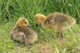 Canada Goose - Branta canadensis (younf goslings)
