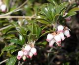 Common Bearberry - Arctostaphylos uva-ursi