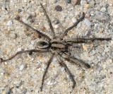 Burrowing Wolf Spider - Geolycosa turricola